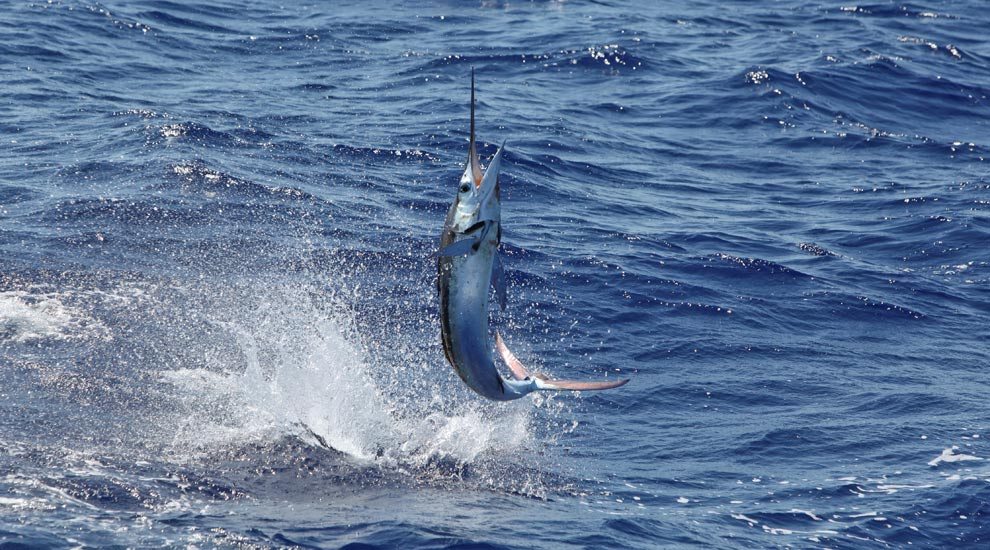 Fishing in the dominican republic fishtrack com for Dominican republic fishing