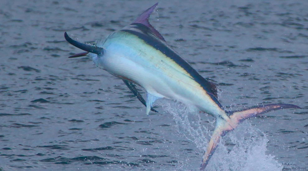 how to live bait marlin