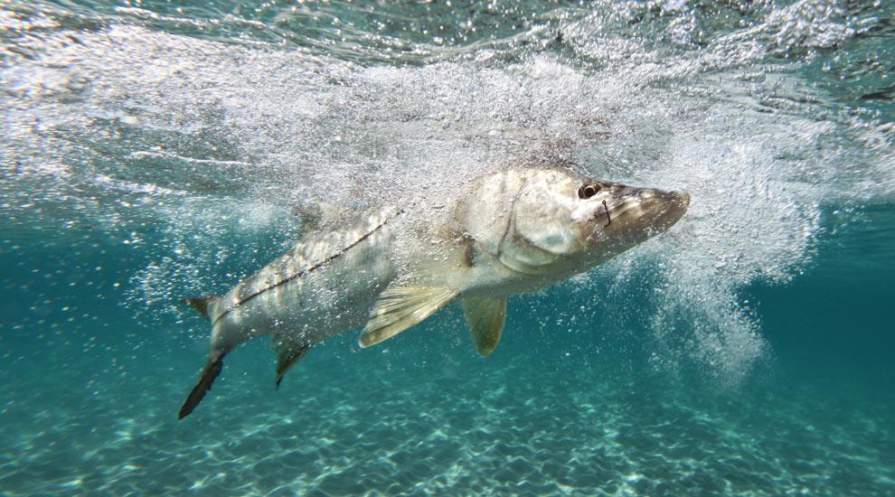Image gallery snook underwater for Snook fishing florida