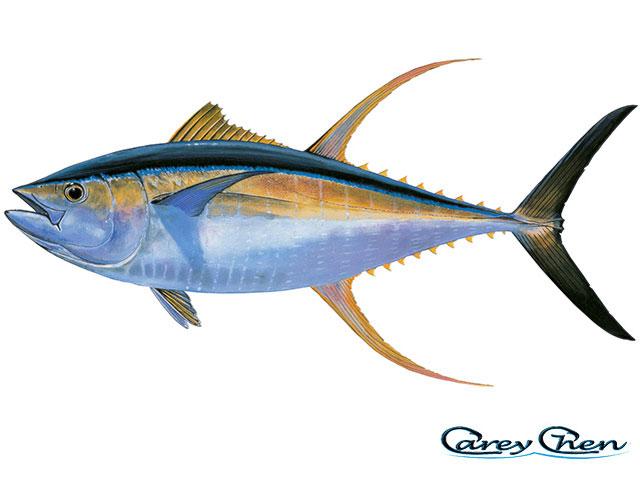 yellowfin tuna fishtrackcom