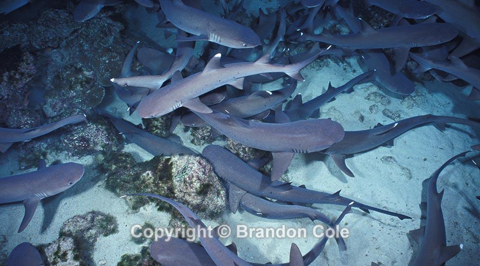 Tiger shark vs hammerhead shark - photo#15