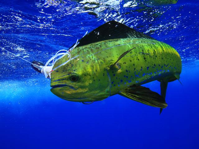 Mad for mahimahi fishtrack com for Mahi mahi fish pictures