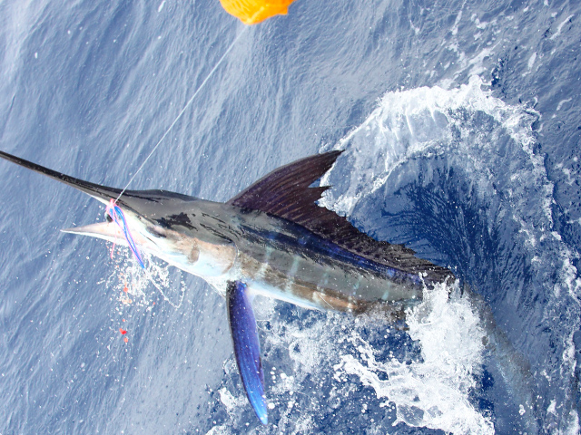 White marlin quotes