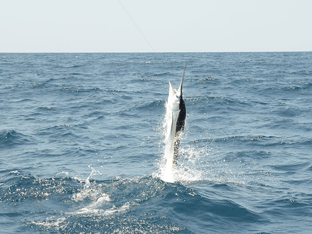 6/' Mono 7//0 Circle Hook White Marlin//Sailfish//Mahi Offshore Rig