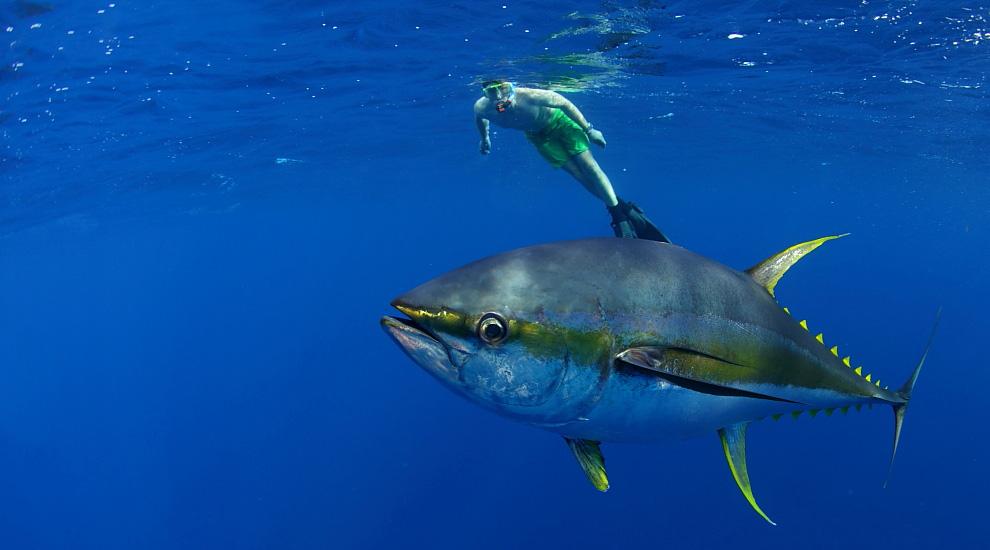 Underwater Shots of Giant Yellowfin Tuna