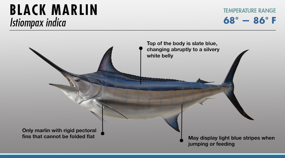 Marlin vs swordfish - photo#6