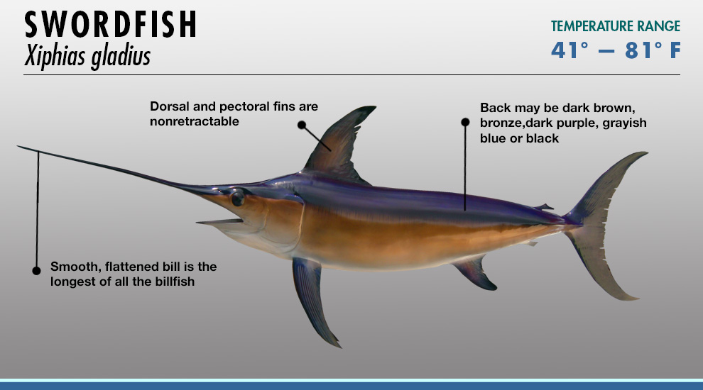 billfish identifier fishtrack com
