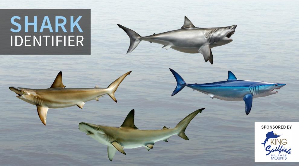 Shark Chart Species shark identifier fishtrack.com Shark Species Chart