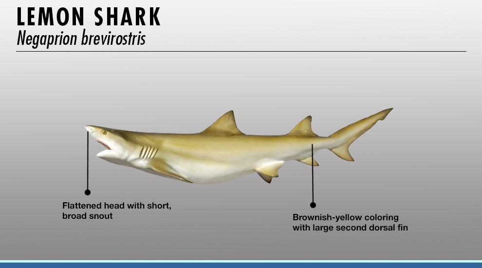 Shark Identifier | FISHTRACK COM