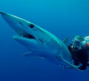 Deep sea rodeo to release sharks fishtrack com for Deep sea fishing mobile al