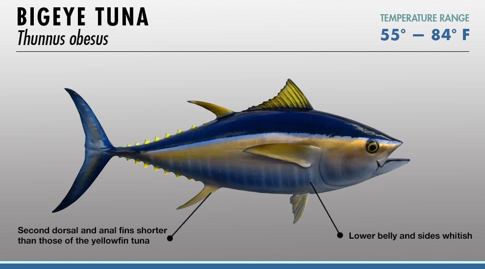 tuna identifier fishtrackcom