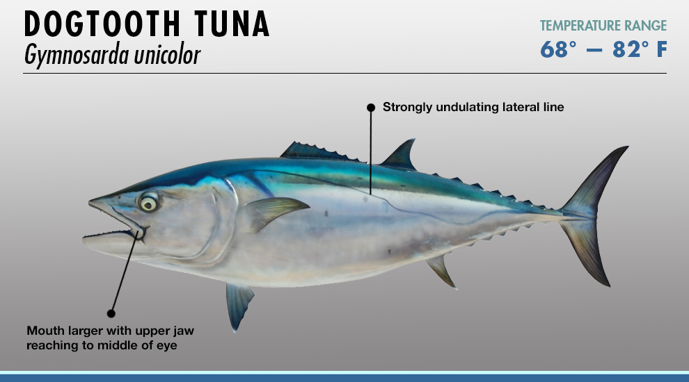 Tuna identifier fishtrack com for Does tuna fish have scales