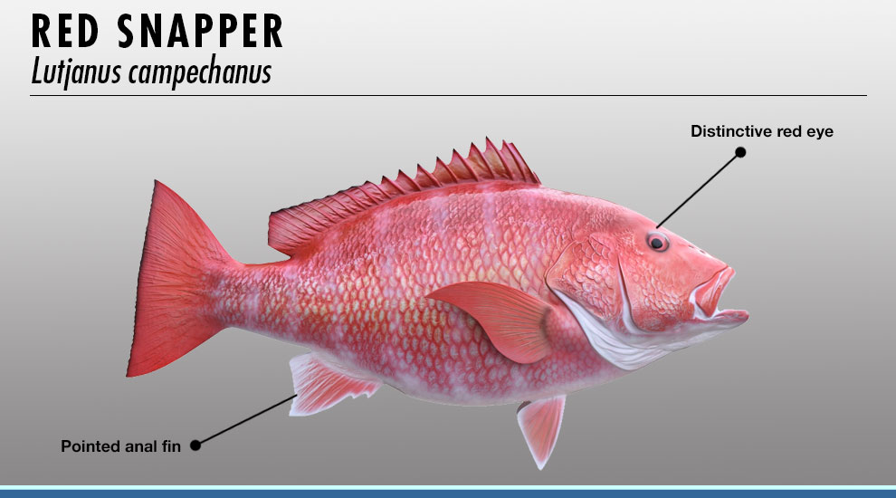 Snapper fish identifier fishtrack com for Types of red fish