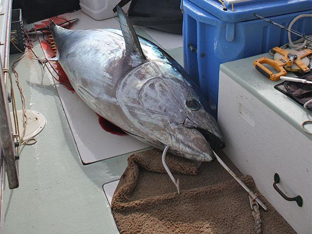 Giant tuna hook up