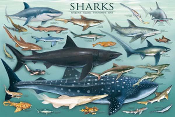 Figure 1 Shark chart  Shark Species Chart